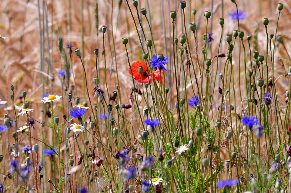 Field Flowers, Cornflowers, Poppies, Chamomile, Grasses