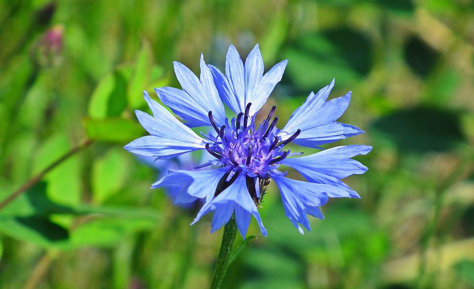 Cornflowers, Flowers, The Beasts Of The Field, Blue