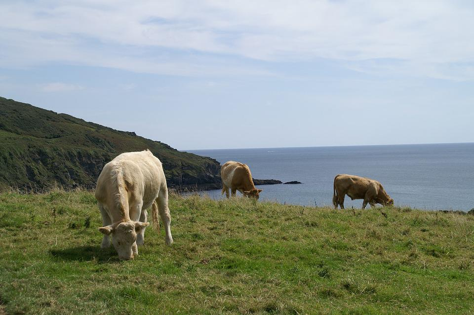 Cornwall, Cows, Pasture, Coast