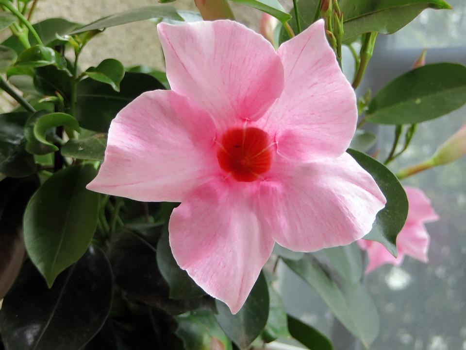 Mandevilla, Flower, Pink, Corolla, Pink Flowers