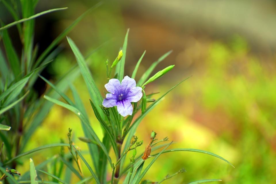 Coromandel, Purple Flower, Creeping Foxglove