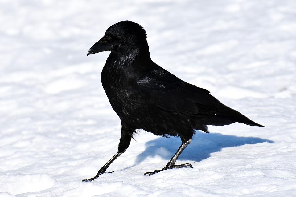 Crow, Raven Bird, Black, Corvidae, Nature, Bill, Animal