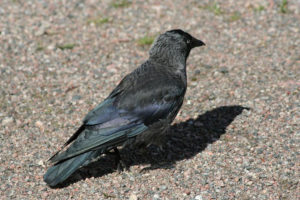 Corvus Monedula, Western Jackdaw, Bird, Black, Animal