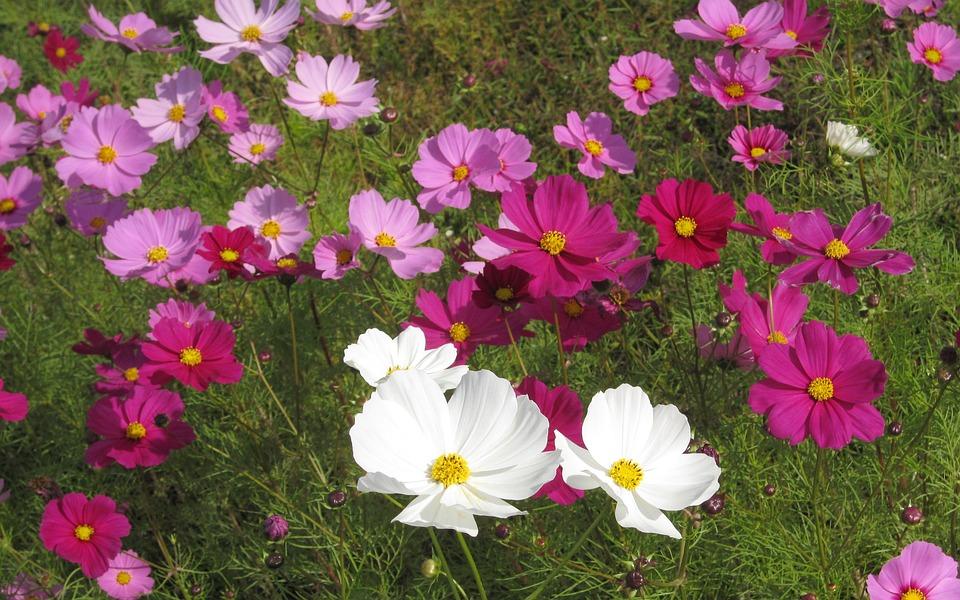 Flowers, Cosmos, Autumn Cherry, Pink, Flower Garden