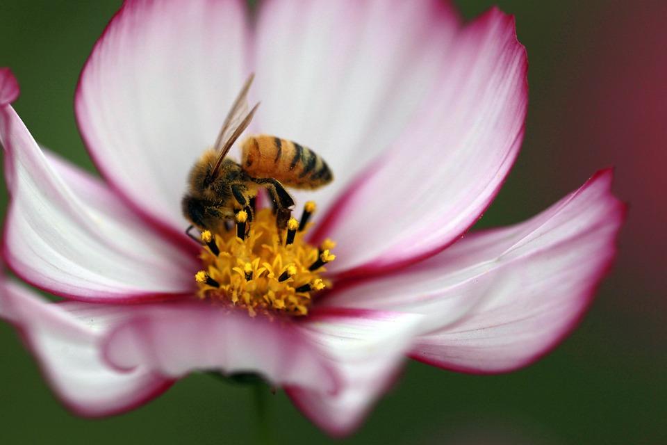 Cosmos, Bee, The Universe, Breeding