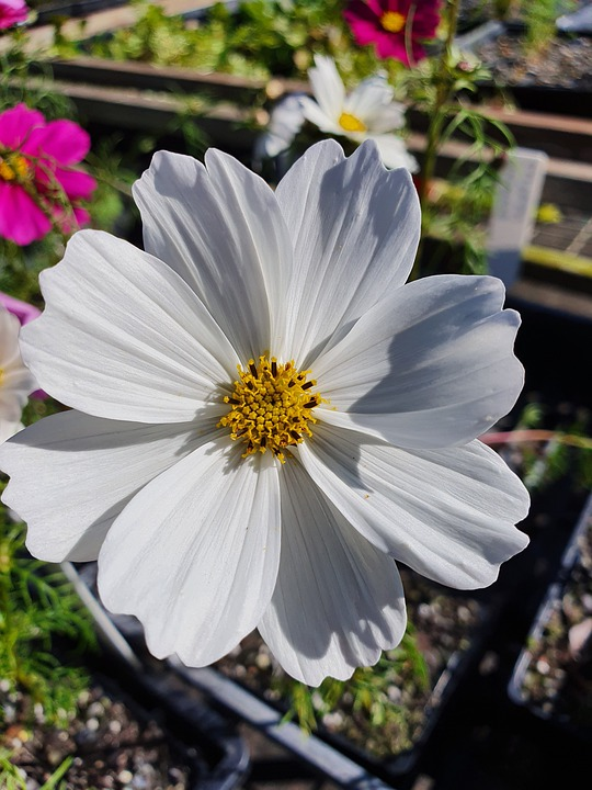Cosmos, Flower, Bloom, Blossom, Gardening, Garden