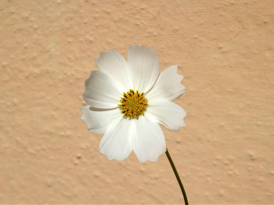 Flower, Cosmos, Cosmea, Macro, Spring