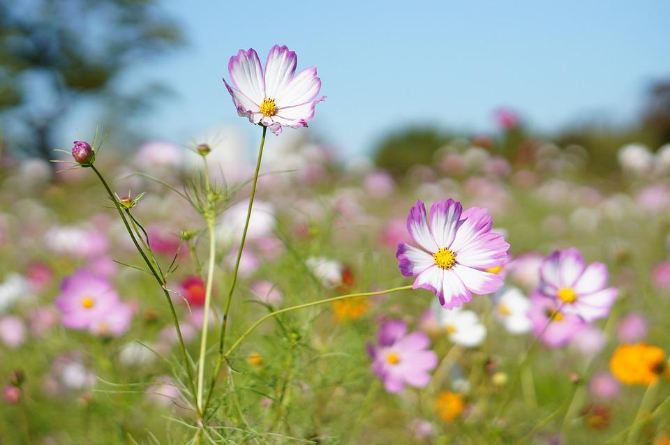 Cosmos, Flowers, Plants, Nature, Flower Garden, Garden