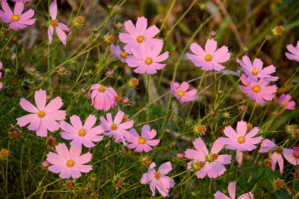 Cosmos Flowers Pink Plants Flower Garden Autumn