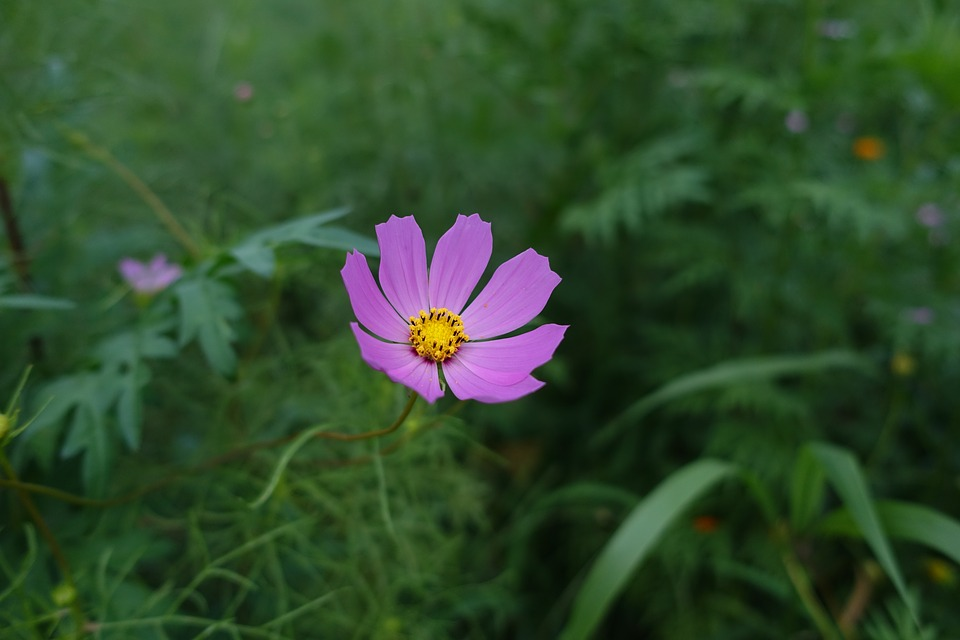 Nature, Plants, Flowers, Cosmos