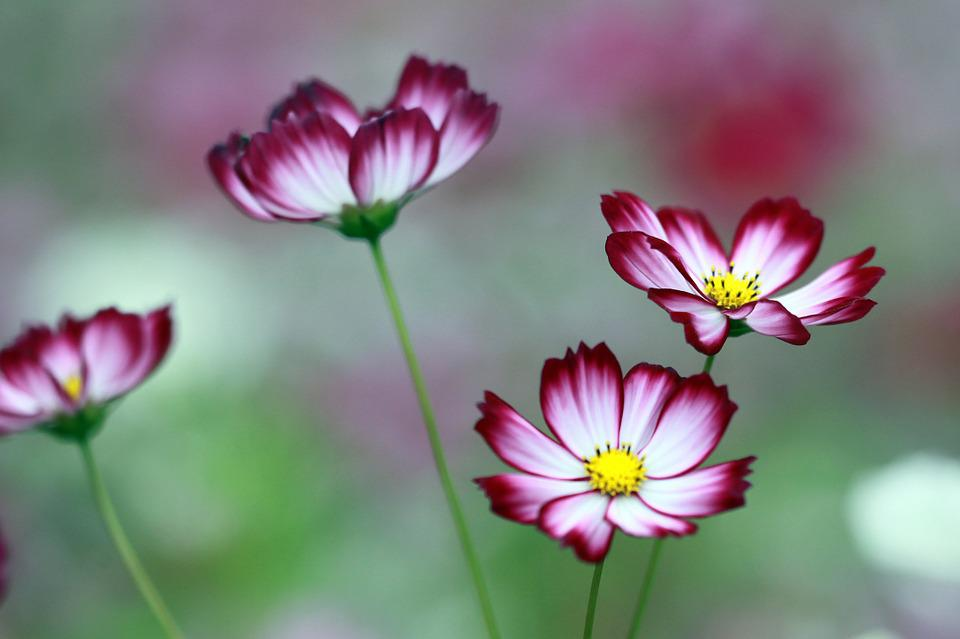 Cosmos, The Universe, Flowers, Neat