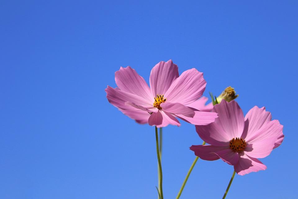 Cosmos, Flowers, Pink Flowers, Petals, Pink Petals