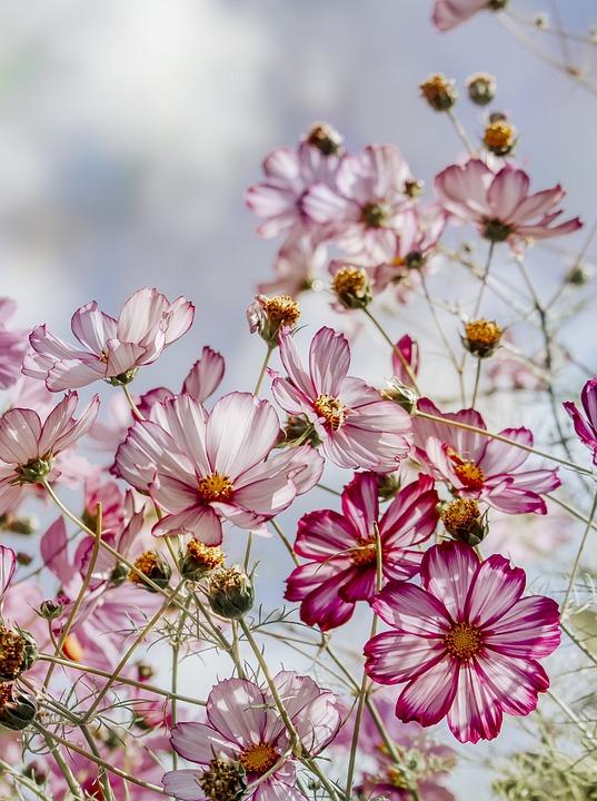 Cosmos, Flowers, Plant, Garden, Pink Flowers, Bloom