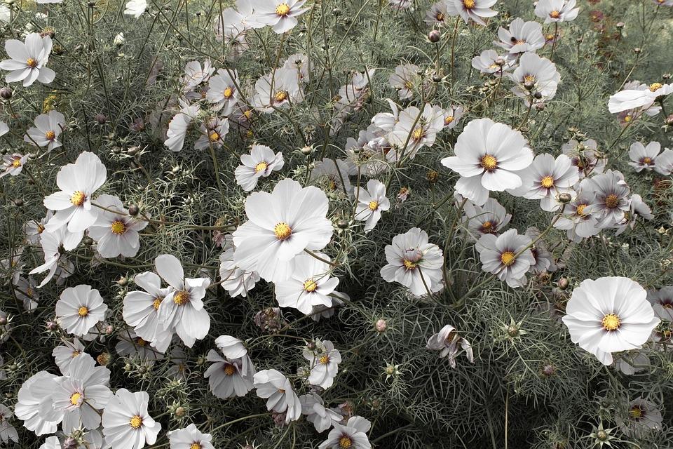 White Cosmos, Cosmos Flowers, Cosmos, Summer, Garden