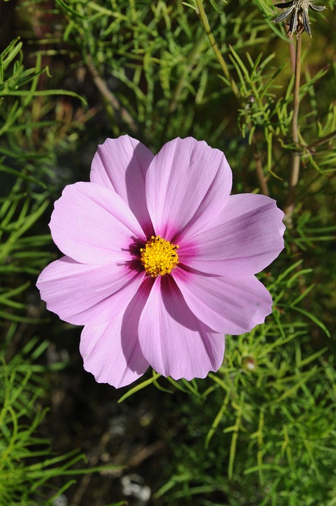 Lilac Flower, Flower, Cosmos, Garden, Plant, Nature