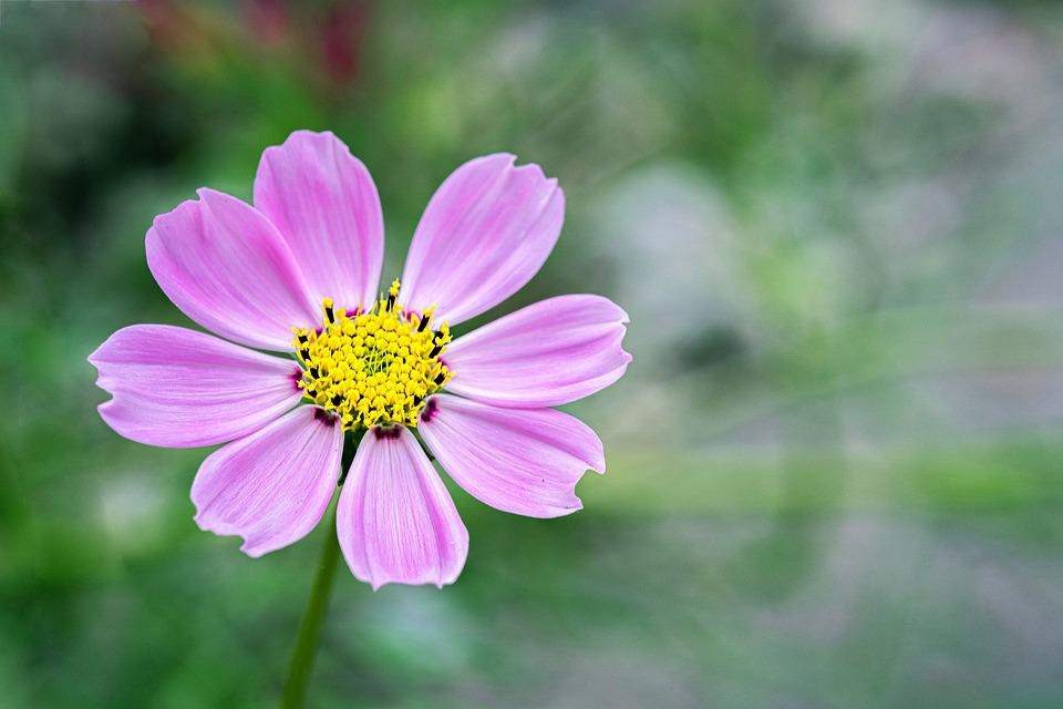 Cosmos, Autumn, Flowers, Nature, Plants, Green