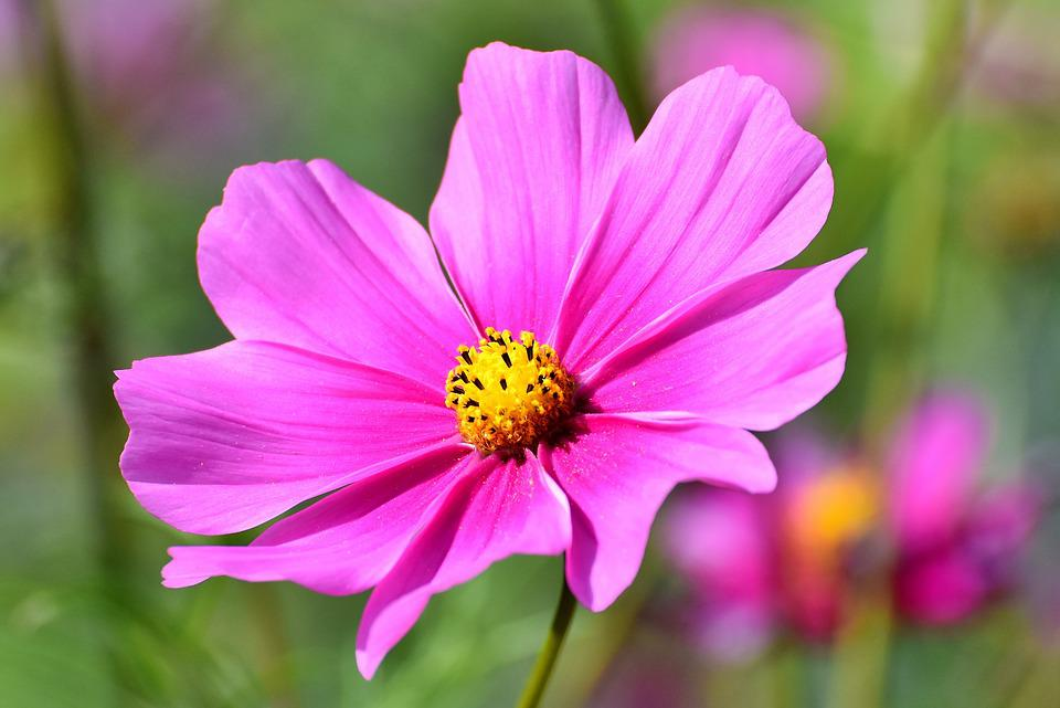 Cosmea, Flower, Cosmos, Blossom, Bloom, Pink, Plant