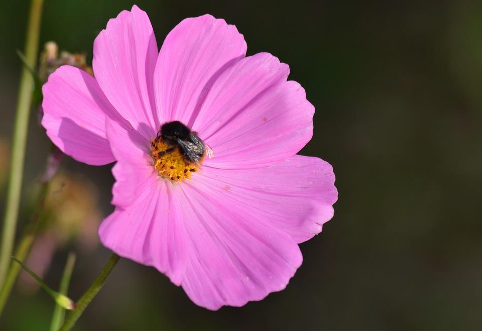 Cosmos, Flowers, Nature, Garden, Cosmos Pink, Summer