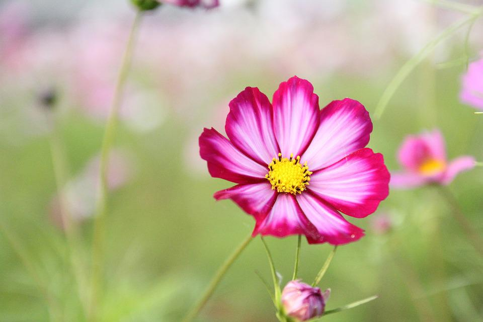 Free photo cosmos plant flower garden cosmos flower nature max pixel cosmos flower cosmos flower plant nature garden mightylinksfo
