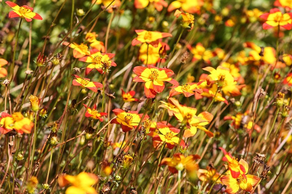 Goldkosmee, Asteraceae, Cosmos Sulphureus, Blütenmeer