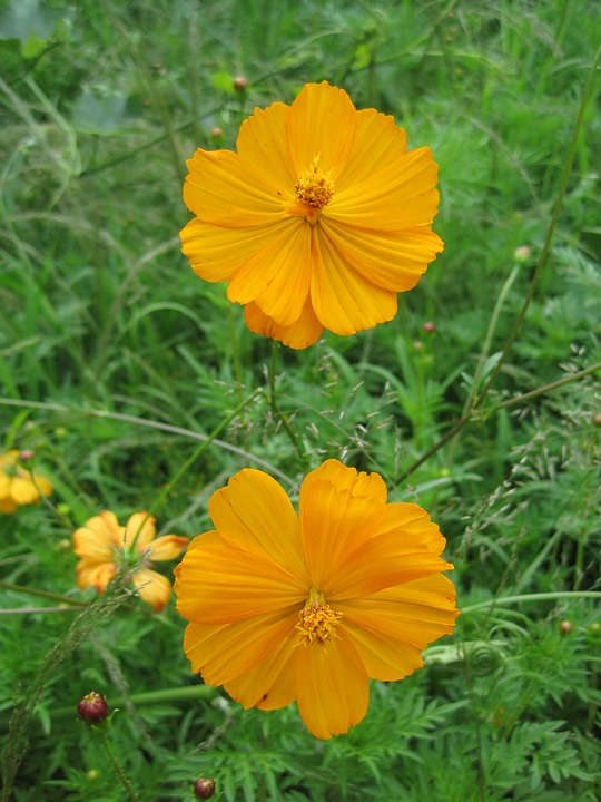 Yellow Cosmos, Flowers, Cosmos, Yellow, Bright, Foliage