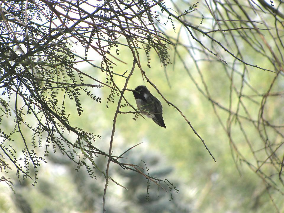 Hummingbird, Costa's Hummingbird, Palo Verde Tree