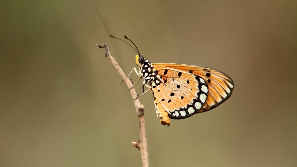 Tawny, Coster, Butterfly, Wildlife, Natural, Insect