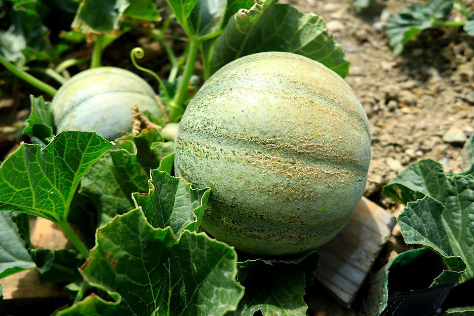 Fruit, Melon, Food, Power, Summer, Health, Costs