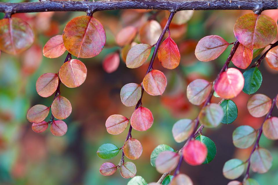 Cotoneaster, Branch, Leaves, Colorful Leaves, Plant