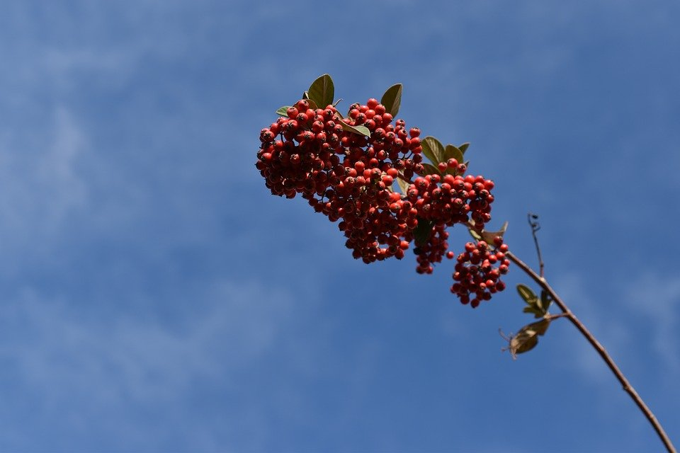 Red Berries, Cotoneaster, Plants, Shrubs, Nature