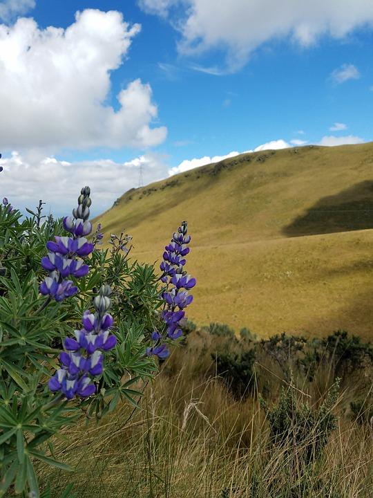 Nature, Summer, Outdoors, Field, Flower, Cotopaxi