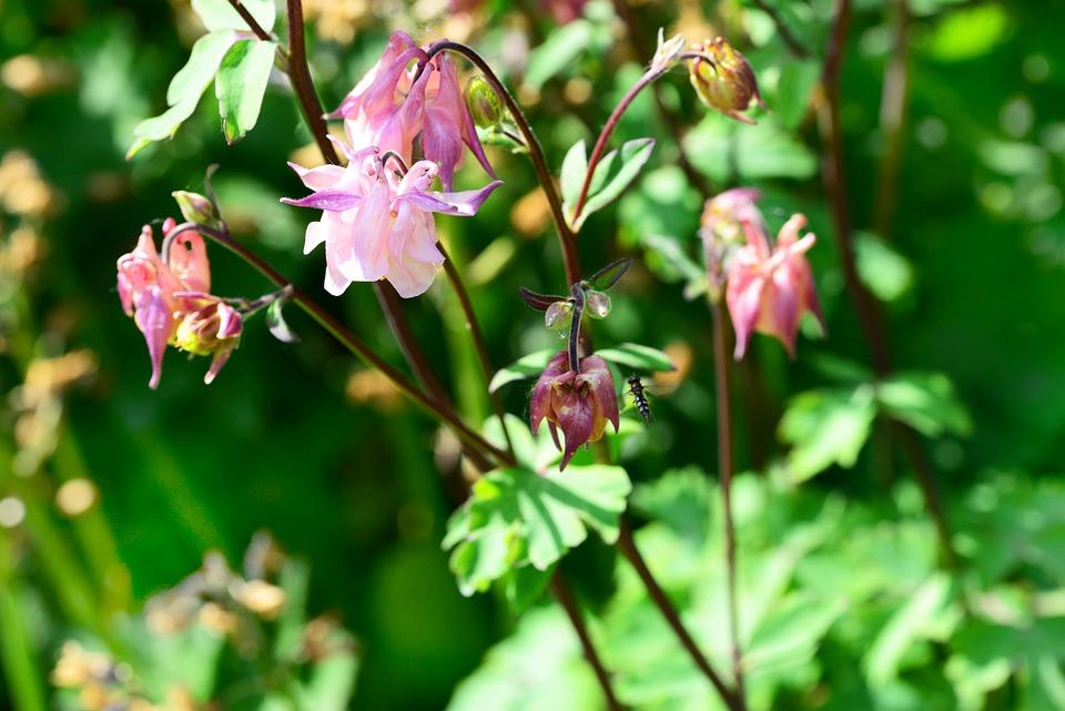 Columbine, Aquilegia, Cottage Garden, Delicate, Pink