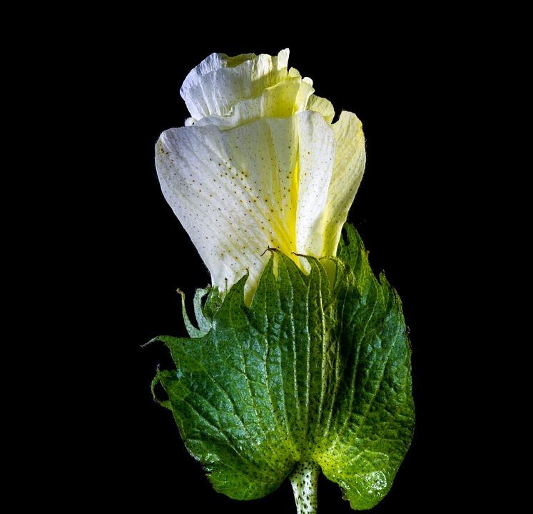 Cotton Flower, Blossom, Bloom, Flower, White