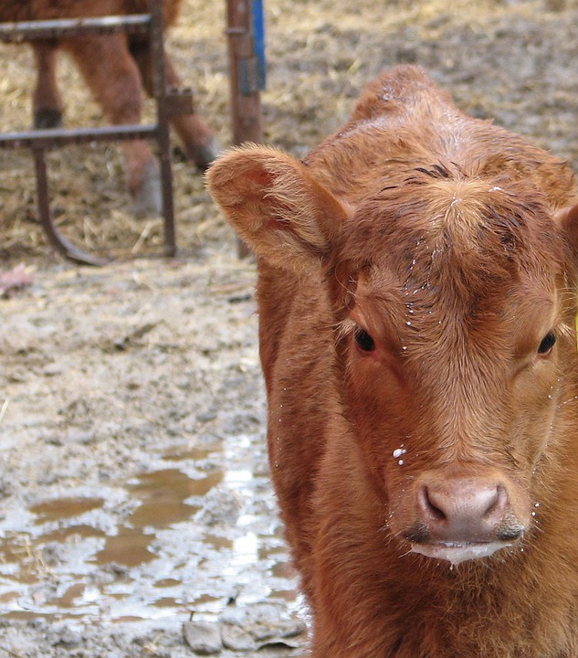 Calf, Cow, Farm, Corral, Rural, Country