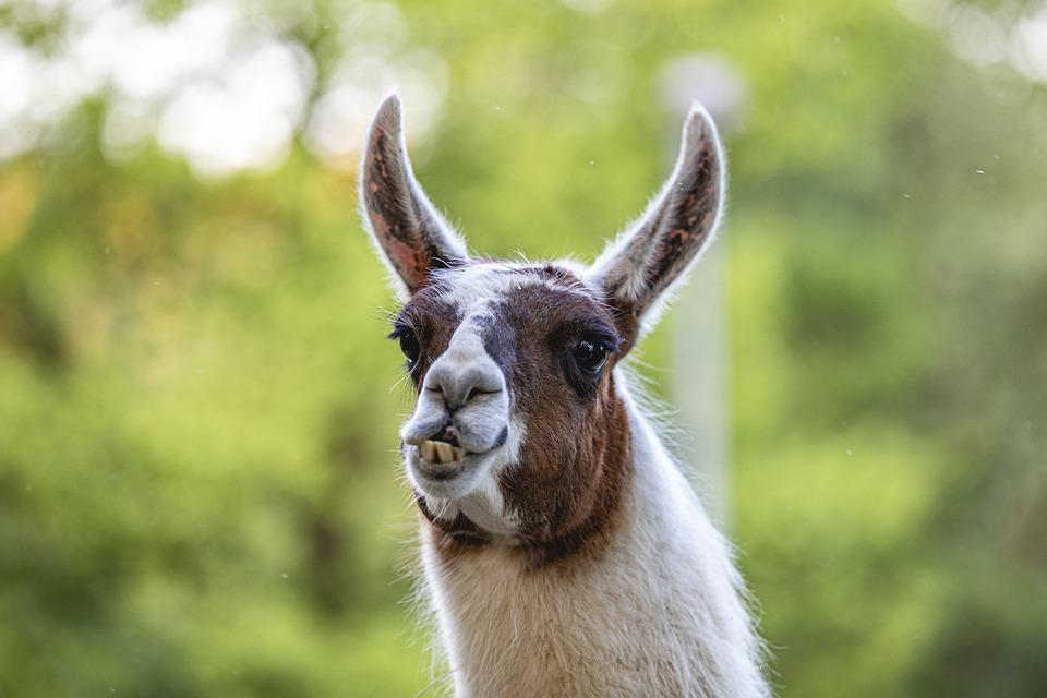 Llama, Country, Nature, Funny, Outside, Animal