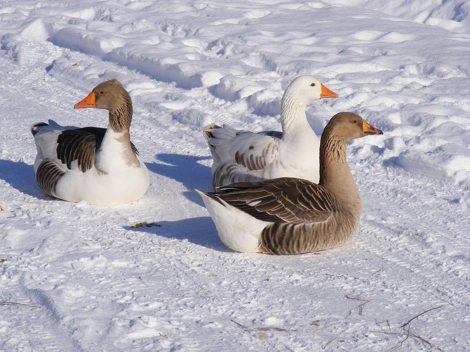 Cold, Country, Geese, Goose, Road, Snow, White, Birds