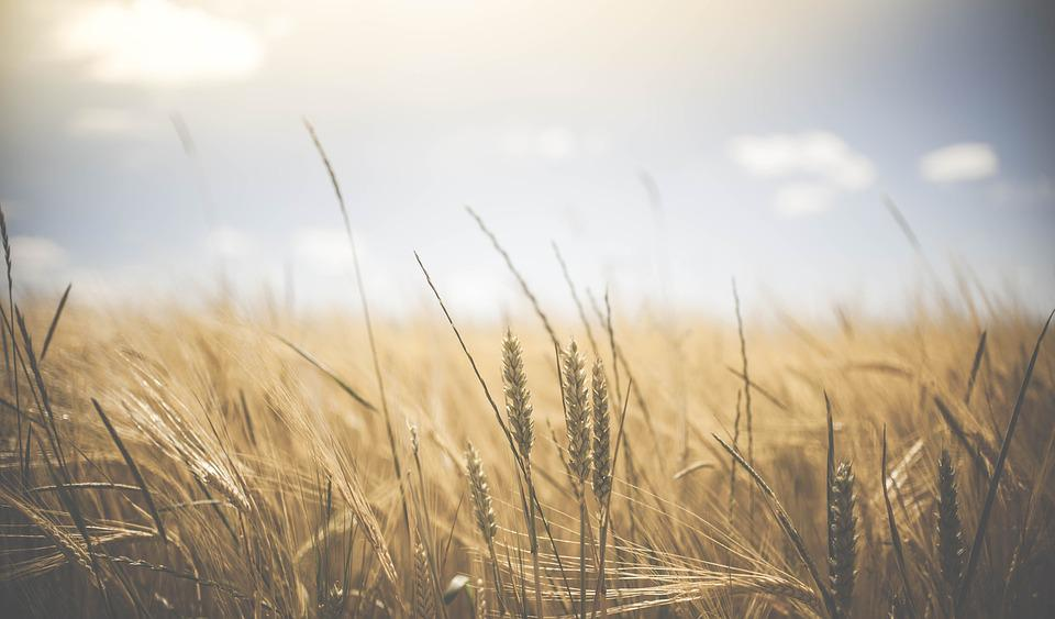 Agriculture, Bread, Cereal, Countryside, Crop, Farm