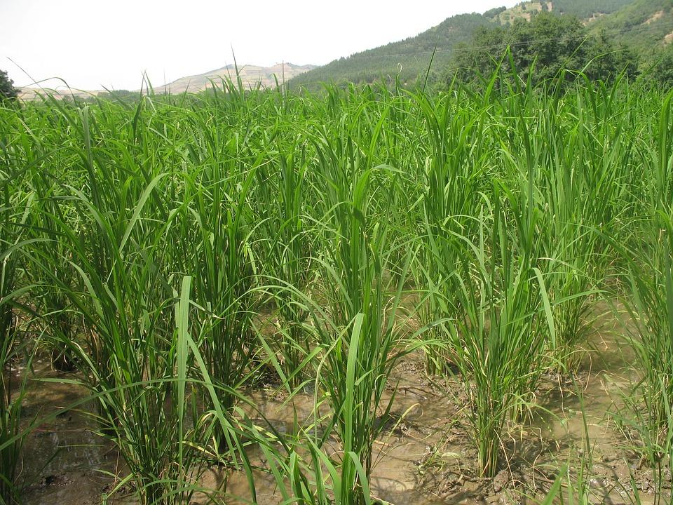 Rice, Farm, Agriculture, Countryside, Farmland, Paddy