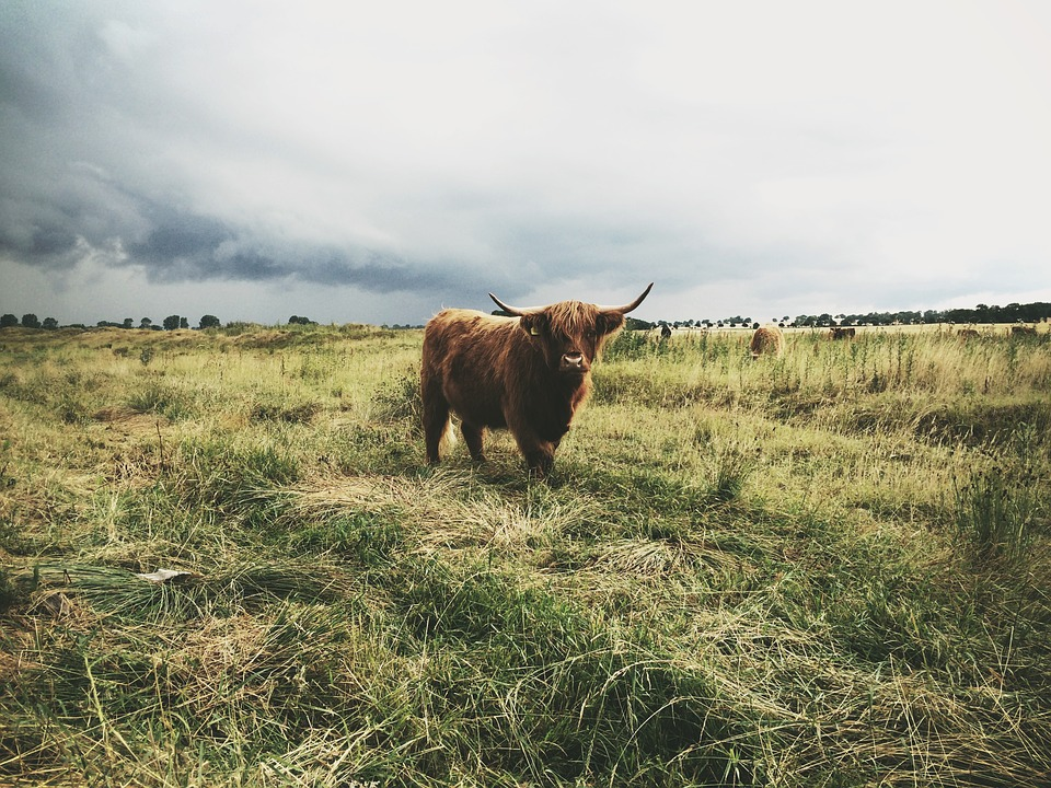 Agriculture, Animal, Bull, Cattle, Countryside, Farm