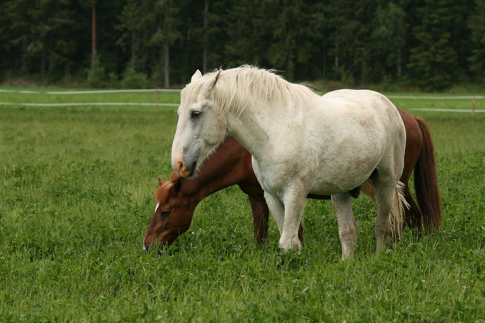 White Horse, Brown Horse, Summer, Pasture, Countryside