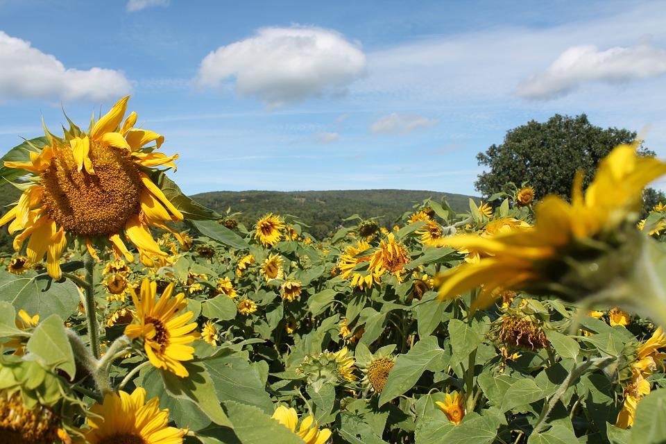 Sunflowers, Countryside, Yellow, Summer, Country