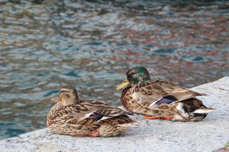 Ducks, Two, Water, Couple, Drake, Water Bird