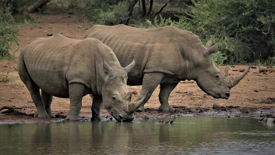White Rhino, Legs, Couple, Two, Drinking Water, Hole