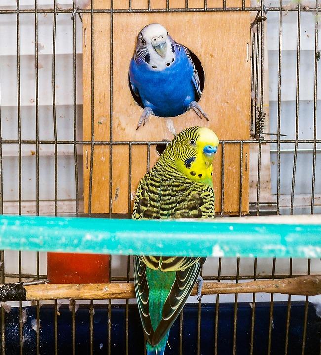 Parrots, Birds, Couple, Parrot, Cage