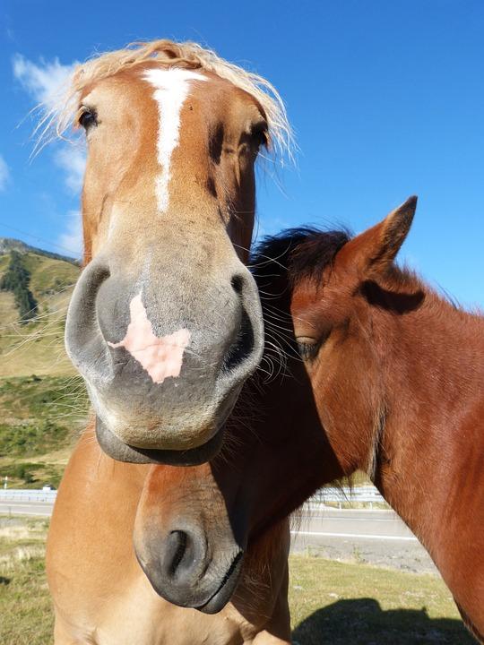 Horses, Couple, Val D'aran, Pyrenees, Tenderness