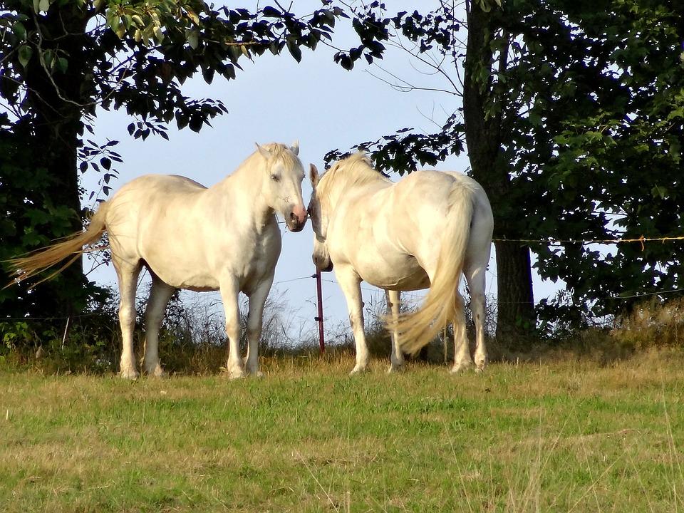 Horse, Pasture, Trees, Coupling, White
