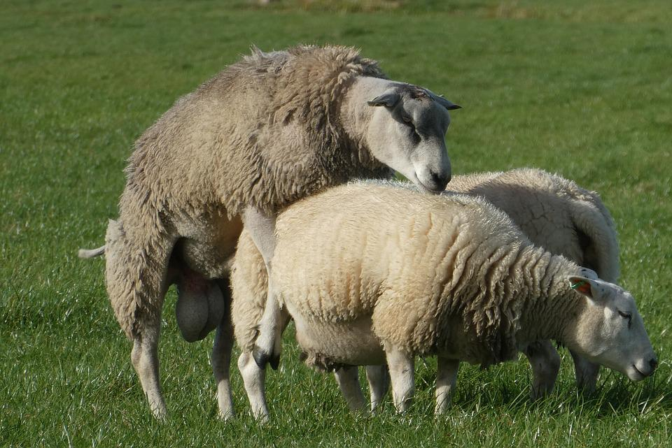 Sheep, Whey, Mating, Cover, Cattle, Mammals, Cute, Ram