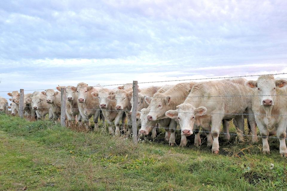 Cow, Cows, Charolais, A Row Of Cows, When The Cows