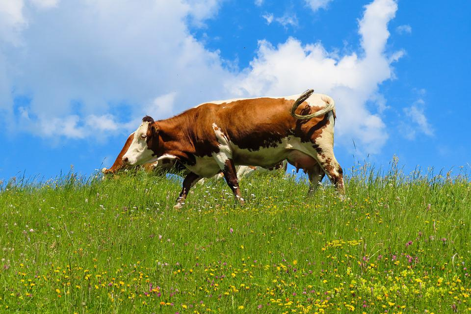 Nature, Landscape, Animal, Cow, Alm, Meadow, Bavaria
