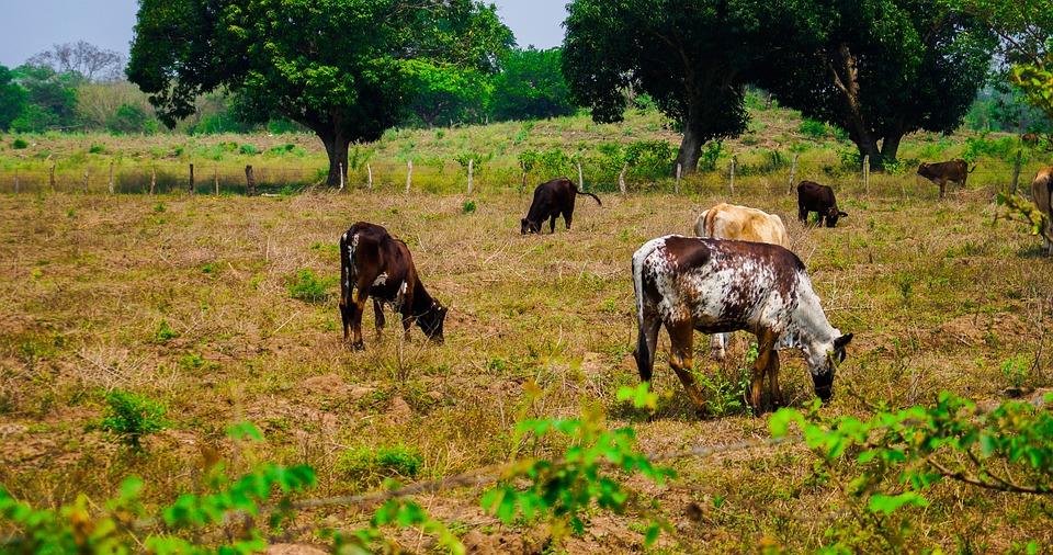 Cow, Ranch, Livestock, Farm, Animals, Field